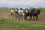 Amish Farmer and Horses in Field, Marion, Wisconsin