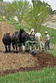 Amish Farmer and Horses Plowing Field, Marion, Wisconsin