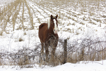 Amish Horse in Cornfield in Winter, Columbia County, Wisconsin