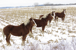 Amish Horses in Cornfield in Winter, Columbia County, Wisconsin