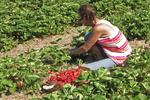 Picking Strawberries, Prellwitz Strawberries, Ripon, Wisconsin