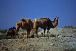 Bactrian Camels in Taklamaken Desert, Xinjiang Uyghur, China