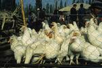 Chickens for Sale at Sunday Market, Kashgar, China