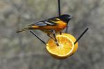 Baltimore Oriole on Orange in Yard, Appleton, Wisconsin