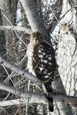 Immature Hawk in Yard, Appleton, Wisconsin