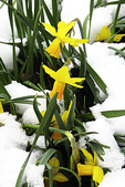 Daffodils in the Snow, Appleton, Wisconsin