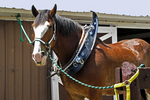 """Clydesdale Horse """"Buddy"""" Getting Ready for Show, Larson Famous Clydesdales, Ripon, Wisconsin"""