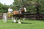 Clydesdale Horse & Cart With Cal Larson, Larsons Famous Clydesdales, Ripon, Wisconsin