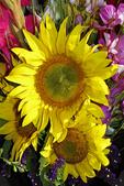 Sunflowers for Sale, Farmer's Market, Appleton, Wisconsin