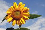 Sunflower on a Summer Day, Appleton, Wisconsin