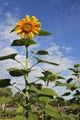 Sunflower in the Garden, Appleton, Wisconsin