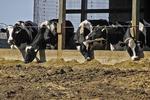 Cows Feeding in the Barn, Bonduel, Wisconsin