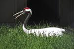 Red-crowned Crane, International Crane Foundation, Baraboo, Wisconsin