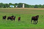 Percheron Horses and Colts Crossing the Field, Bonduel, Wisconsin