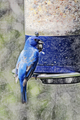 Indigo Bunting at Feeder with Colored Pencil, Appleton, Wisconsin