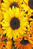 Sunflowers at Farmer's Market, Appleton, Wisconsin