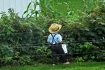 Amish Boy Picking Raspberries, Green Lake County, Wisconsin