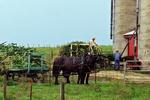 Amish Chopping Corn Stalks, Green Lake County, Wisconsin