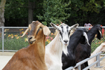 Goats at Fence, Henry Vilas Zoo, Madison, Wisconsin