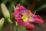 Lilac and Coral Daylily in Garden, Henry Vilas Zoo, Madison, Wisconsin