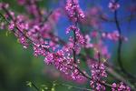 Red Bud Tree in Spring Bloom, Appleton, Wisconsin