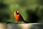 Cardinal on Deck, Appleton, Wisconsin