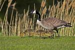 Goose and Chicks in yard, Sturgeon Bay, Wisconsin