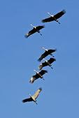 Sandhill Cranes Flying Over Field, Navarino, Wisconsin