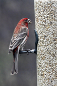Red Pole Bird at Feeder in Yard, Appleton, Wisconsin