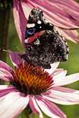 Red Admiral Butterfly on Coneflower, Appleton, Wisconsin