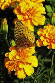 Fritillary on Marigold Flower, Butterfly House, Mosquito Hill Nature Center, New London, Wisconsin