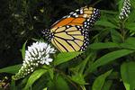Monarch Butterfly in Yard, Appleton, Wisconsin