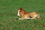Amish New-Born Horse (Foal) in Field, Green Lake County, Wisconsin