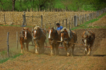 Young Amish Boy Plowing Field With Team Of Horses, Green Lake County, Wisconsin