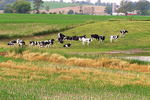 Cows & Corn in the Countryside, Lake Geneva, Wisconsin
