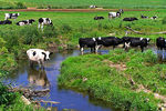 Holstein Cows Near Creek, Monroe, Wisconsin