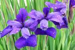 Iris Flowers in the Rain, Riverside Park International Gardens, La Crosse, Wisconsin