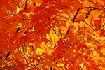 Fall Color in the Maple Trees, Clintonville, Wisconsin
