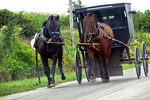 Amish Horse in Training with Buggy on Road, Green Lake County, Wisconsin