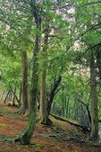 Cedar Trees in Woods, Northern Door County, Wisconsin