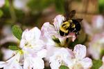 Bee on Apple Blossom Flower, Appleton, Wisconsin