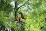 Robin and Babies in Nest, Appleton, Wisconsin