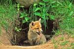 Red Fox Pup at Den in Prairie, Appleton, Wisconsin