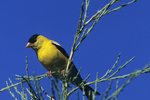 American Goldfinch on Pine Branch, Appleton, Wisconsin