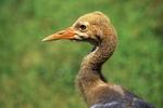 Black-necked Crane Chick, International Crane Foundation, Baraboo, Wisconsin