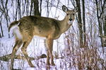 Deer in Woods in Winter, Appleton, Wisconsin
