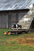 Goats and Chicken at Little Farmer, Fond du Lac, Wisconsin
