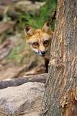Fox Hiding Behind Tree, Vesper, Wisconsin