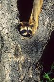 Raccoon Baby in Tree, Appleton, Wisconsin