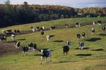 Holstein Cows in Field in Fall, Wittenberg, Wisconsin